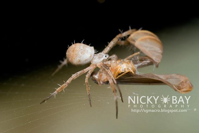 Orb Weaver Spider (Araneidae) - DSC_4835