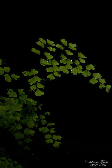 maidenhair2