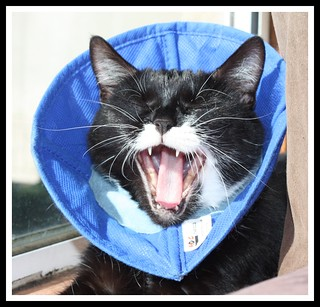 "Cats 171 - Numpty says - ""Mum, are you ever taking this cone off?"" ""Nope"""