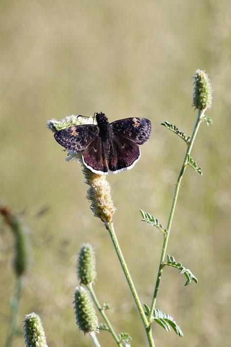 090312_02_butterfly_funeralDuskywing