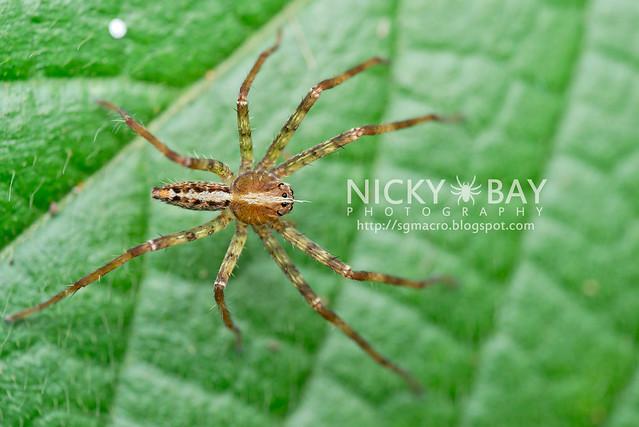 Nursery Web Spider (Pisauridae) - DSC_5147