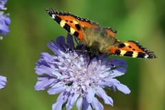 Small Tortoiseshell Butterfly, Martin Mere WWT, Burscough, September 2012