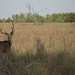 Spotted Deer (David Raju)