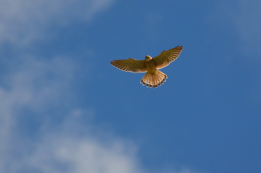 Kestrel Encounter