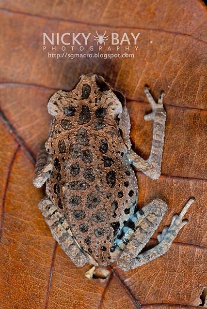 Black-eyed Litter Frog (Leptobrachium nigrops) - DSC_1459