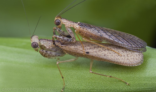 a mating pair of Amantis sp. mantids/mantises IMG_3316 merged copy