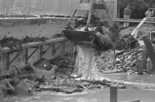 PICAS - Drowned pigs in Kallang River, 1978