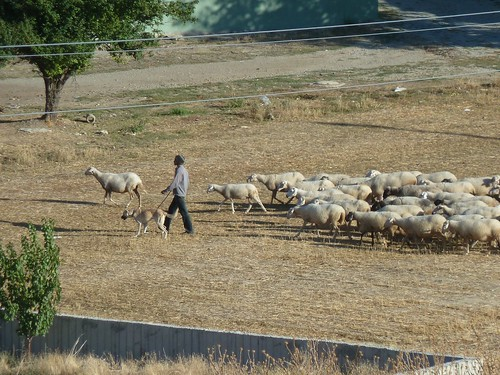 No more figs, but plenty of sheep by mattkrause1969