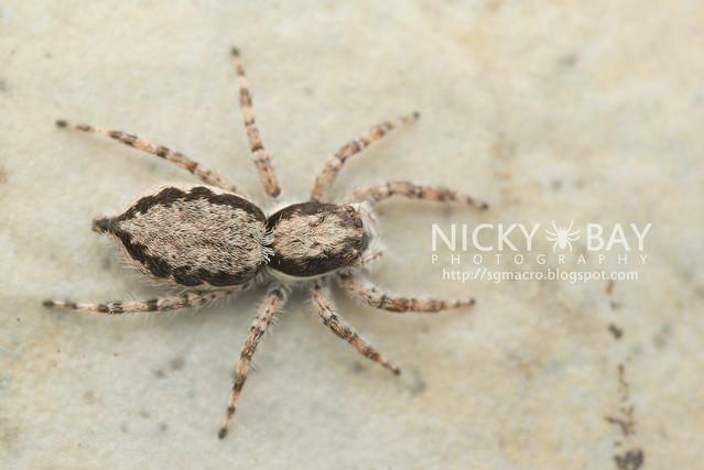 Common House Jumper (Menemerus bivittatus) - DSC_5750