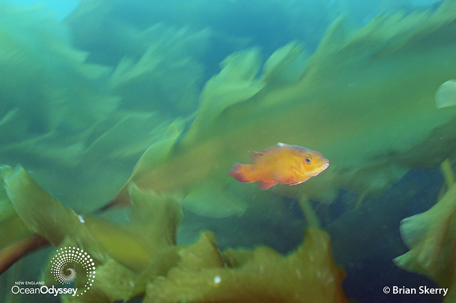 Juvenile cunner in the kelp at Cashes Ledge, Gulf of Maine