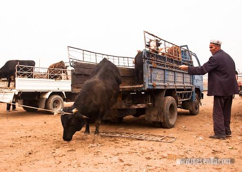 Descarregant un bou de la camioneta