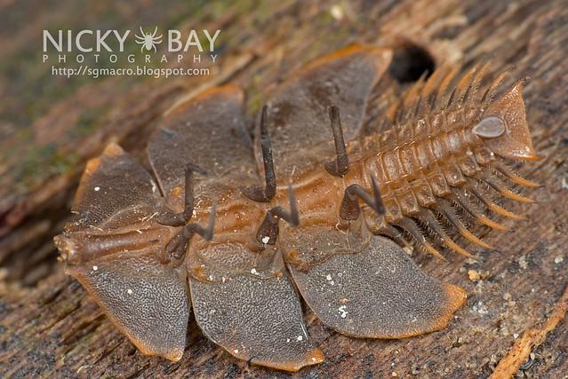 Trilobite Beetle (Duliticola sp.) - DSC_8958