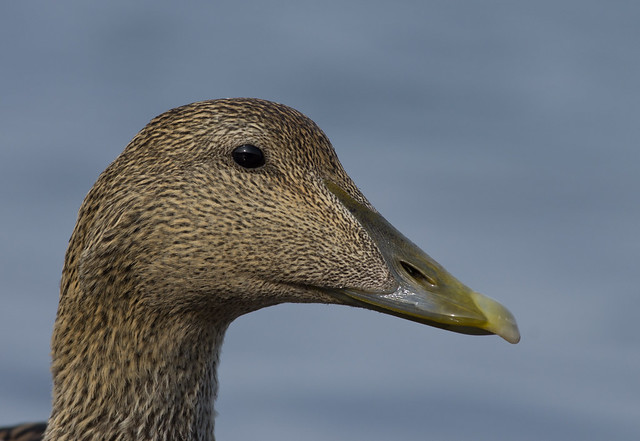 eider female close up