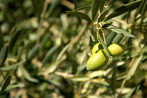 Unripe olives