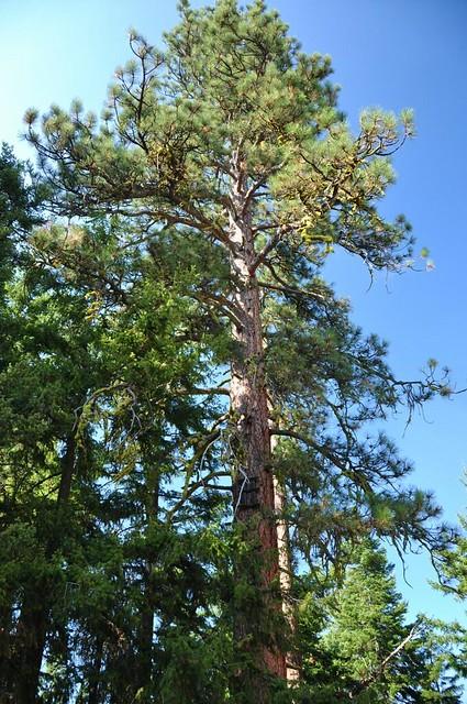 Crow's nest tree