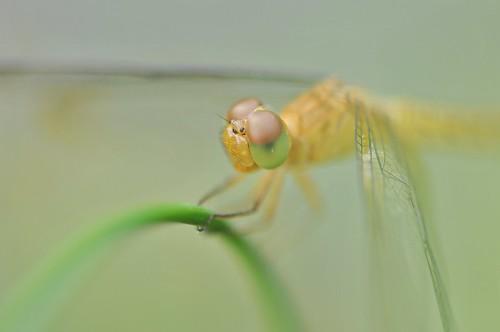 macro art singapore dragonfly botanicalgarden