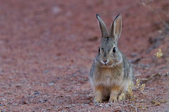 prairie(0.0), pet(0.0), animal(1.0), hare(1.0), rabbit(1.0), domestic rabbit(1.0), fauna(1.0), wood rabbit(1.0), rabits and hares(1.0), wildlife(1.0),