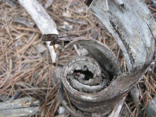 Spiral Bark