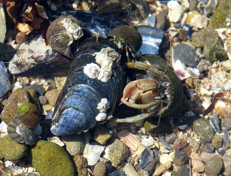 28827 - Hermit Crabs, Mumbles Rockpool