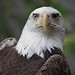 Bald Eagle by Joe Shlabotnik