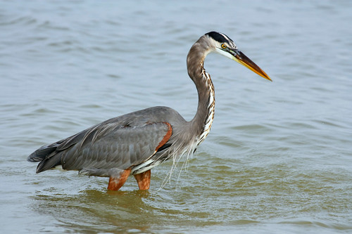Photo by TexasEagle on Flickr. Great Blue Heron on Lake Grapevine on October 2, 2012