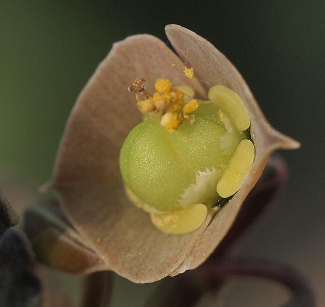 Frucht - Euphorbia ambovombensis