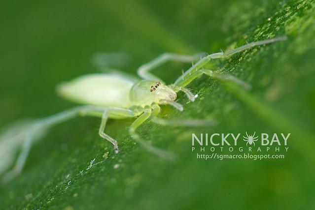 Sac Spider (Clubionidae) - DSC_6478