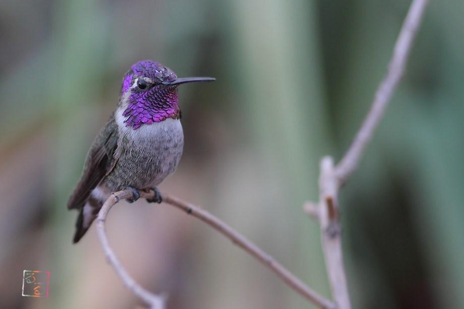 Costa's X Anna's Hummingbird 100312