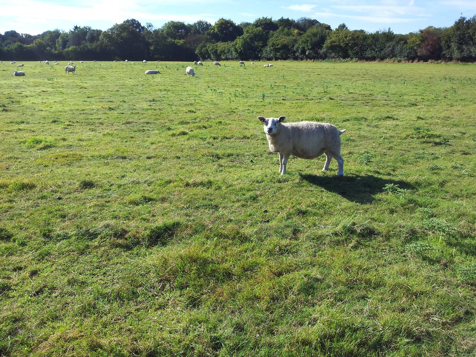 Sheep Henley to Pangbourne