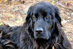 dog breed(1.0), animal(1.0), dog(1.0), boykin spaniel(1.0), hovawart(1.0), pet(1.0), stabyhoun(1.0), retriever(1.0), newfoundland(1.0), flat-coated retriever(1.0), carnivoran(1.0),
