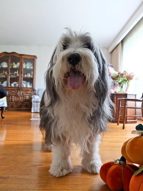 Dog Show Thanksgiving  Winner