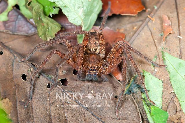 Huntsman Spider (Sparassidae) - DSC_2707