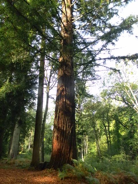Redwood, Nymans