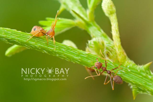 Ant-mimic Crab Spider (Amyciaea lineatipes) - DSC_2562