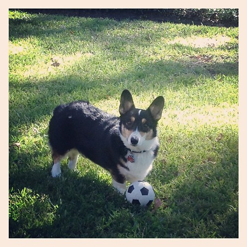 Oct 9, 2012 - playing soccer with my Nappy boy #corgi