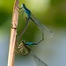 Damselfly mating wheel (very detailed picture)