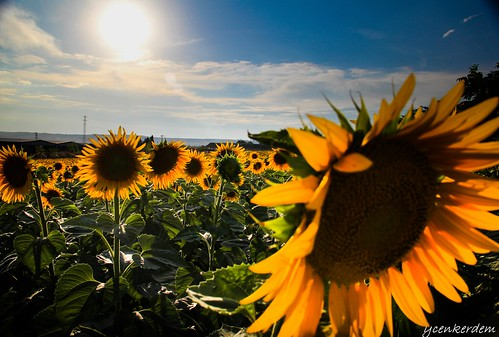 landscape sun sunflowers