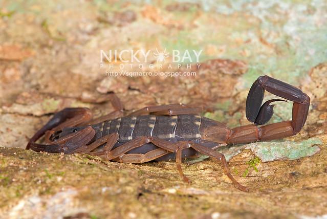 Scorpion (Lychas scutilus?) - DSC_0630
