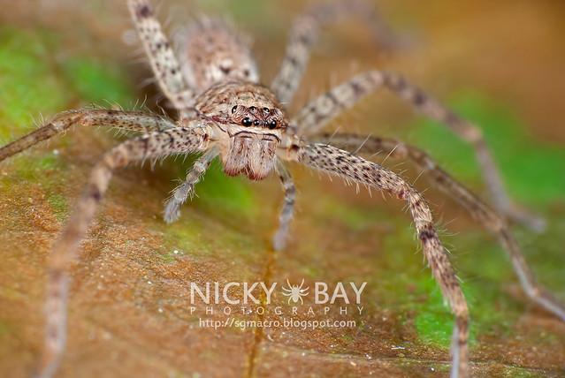 Huntsman Spider (Sparassidae) - DSC_9179