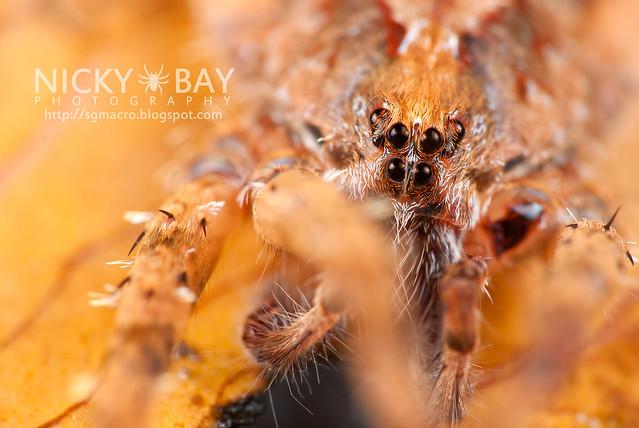 Wandering Spider (Ctenidae) - DSC_8285