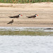 Small photo of Collared Pratincole & African Skimmer