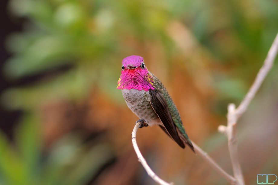 Anna's Hummingbird 100912