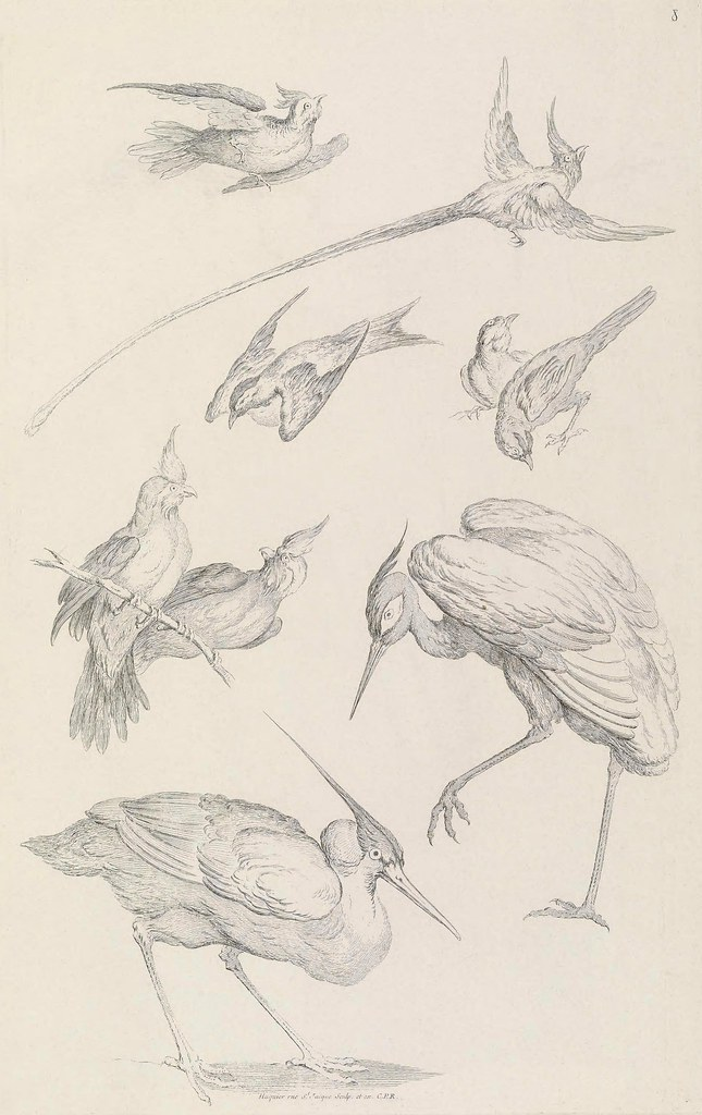 bird species engravings (uncoloured) 18th century