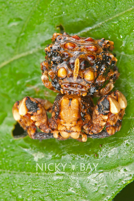 Bird dung crab spider - photo#39