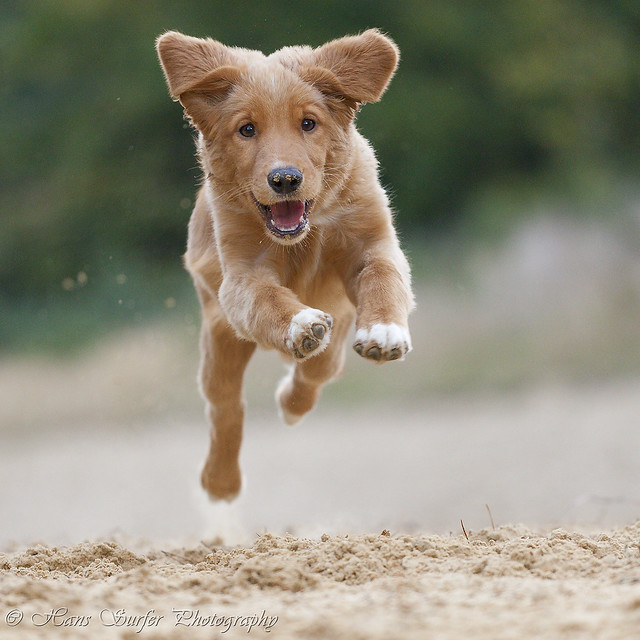 Today I saw a flying Toller