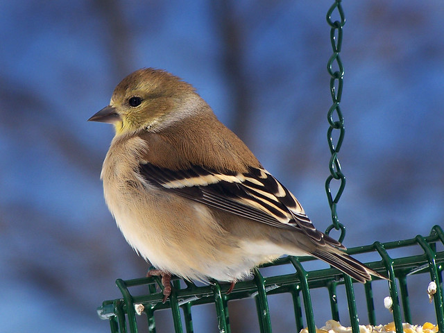 American Goldfinch, Female, Winter Plumage, Close-up
