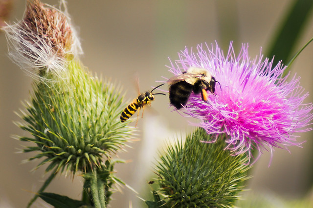 Bees, Thistle, Purple, Bee, Insect, Battle,