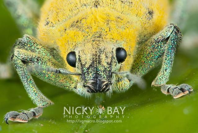 True Weevil (Curculionidae) - DSC_6232