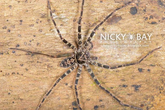 Huntsman Spider (Sparassidae) - DSC_6011