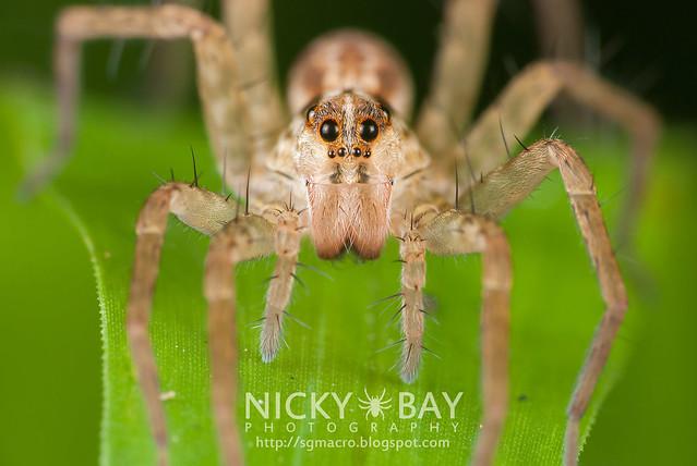 Wolf Spider (Lycosidae) - DSC_5778